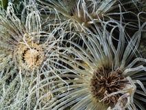 Fimbriatus Anemone Pachycerianthus κατοικιών σωλήνων Στοκ φωτογραφία με δικαίωμα ελεύθερης χρήσης