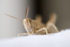 Fin égyptienne de sauterelle vers le haut Photo stock