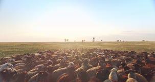 Fin aérienne cinématographique de scène de bourdon au-dessus du troupeau des moutons en steppe ukrainienne de prairie au coucher  clips vidéos
