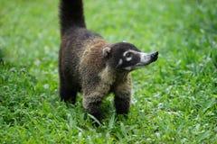 Fin adulte de portrait de coati  Photos libres de droits