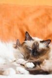 Fin adulte de sommeil de deux chats Photographie stock libre de droits