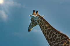 Fin africaine de girafe  images libres de droits