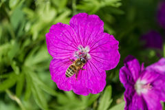 Fin alpine rose de géranium vers le haut de fleur dans le jardin dehors Photos libres de droits