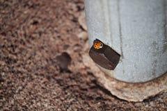 Fin asiatique d'insecte de scarabée sur le boulon sur le poteau Photographie stock