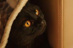 fin aux yeux oranges de chat d'écossais-pli  photo libre de droits