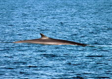 Fin Back Whale. 25 mile East of Nantucket. Ma stock photos