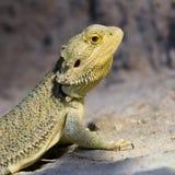 Fin barbue de dragon vers le haut photos libres de droits