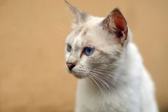 Fin blanche de chat Image stock