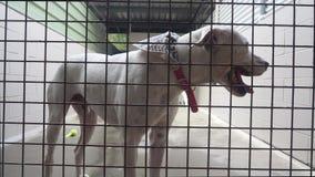 Fin blanche de chien dans l'adoption de attente de refuge pour animaux banque de vidéos