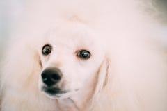 Fin blanche de chien de caniche standard vers le haut de portrait Photo libre de droits