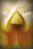 Fin blanche de fleur d'orchidée vers le haut Images libres de droits
