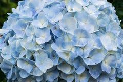 Fin bleue d'hortensia vers le haut Photo libre de droits