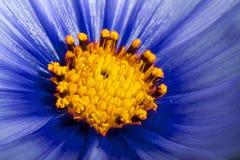 Fin bleue de fleur de cosmos  Photo stock