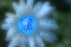 fin bleue rêveuse de fleur d'echinacea  photographie stock libre de droits