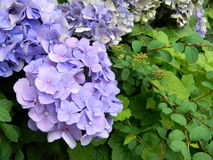 Fin bleue violette d'hortensia  photo stock