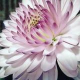 fin blomma Royaltyfria Foton