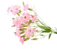 fin blommapink Arkivfoton