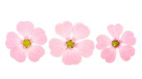 fin blommapink Arkivfoto