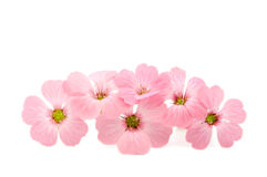 fin blommapink Royaltyfri Fotografi