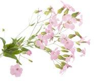 fin blommapink Fotografering för Bildbyråer