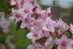 fin blommapink Royaltyfri Bild