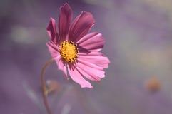 fin blommapink Ensam blomma i ett fält på en försiktig bakgrund Arkivbild