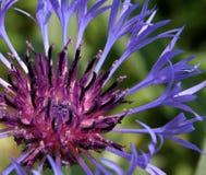 fin blommapurple för closeup Arkivbilder