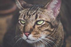 Fin brune fâchée contrariée de chat tigré de chat vers le haut de fond image libre de droits