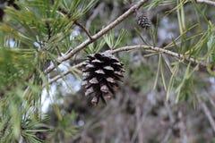 Fin centrée par cône de pin  images libres de droits