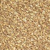 Fin crue écrite de céréale de blé organique vers le haut de texture ou de fond Photo libre de droits