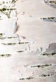 Fin d'écorce de bouleau vers le haut Photographie stock