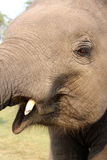 Fin d'éléphant de bébé  Image libre de droits