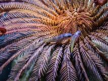 Fin d'étoile de plume  Espèce marine Images stock