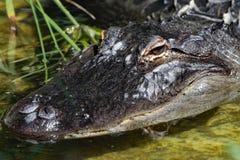 Fin d'alligator américain vers le haut de détail Image stock