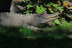 Fin d'alligator américain vers le haut de détail Photographie stock libre de droits