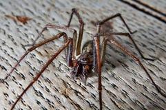 Fin d'araignée de saeva de Tegenaria vers le haut Image libre de droits