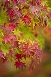 Fin d'arbre d'érable dans l'automne Photographie stock