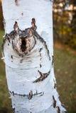 Fin d'arbre de bouleau avec l'écorce d'épluchage Image stock