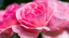 Fin d'extrémité de rose de rose vers le haut de macro foyer de tir sur des flocons Images stock