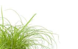 Fin d'herbe verte vers le haut, sur le fond blanc Photographie stock libre de droits