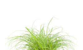 Fin d'herbe verte vers le haut, sur le fond blanc Photos stock