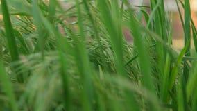 Fin d'instruction-macro d'herbe verte vers le haut banque de vidéos