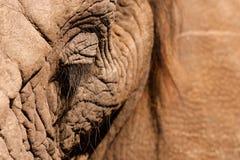 Fin d'oeil d'éléphant  Photos stock