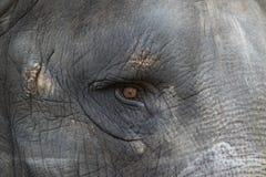 Fin d'oeil d'éléphant  Photo libre de droits