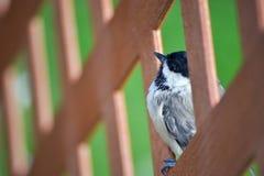 Fin d'oiseau de Chickadee vers le haut Image libre de droits