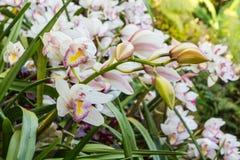 Fin d'orchidée de fleur de Cymbidium dans le jardin photo libre de droits