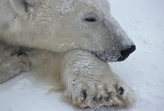 Fin d'ours blanc vers le haut Photo stock