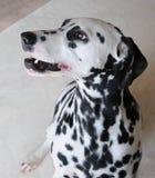Fin dalmatienne de chien vers le haut de portrait Images libres de droits