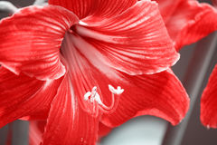 Fin dans le curieux rouge d'étoile de LÃrio de fleurs portugaises de jardins Photo stock