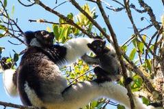 Fin de bébé d'Indri  Image libre de droits